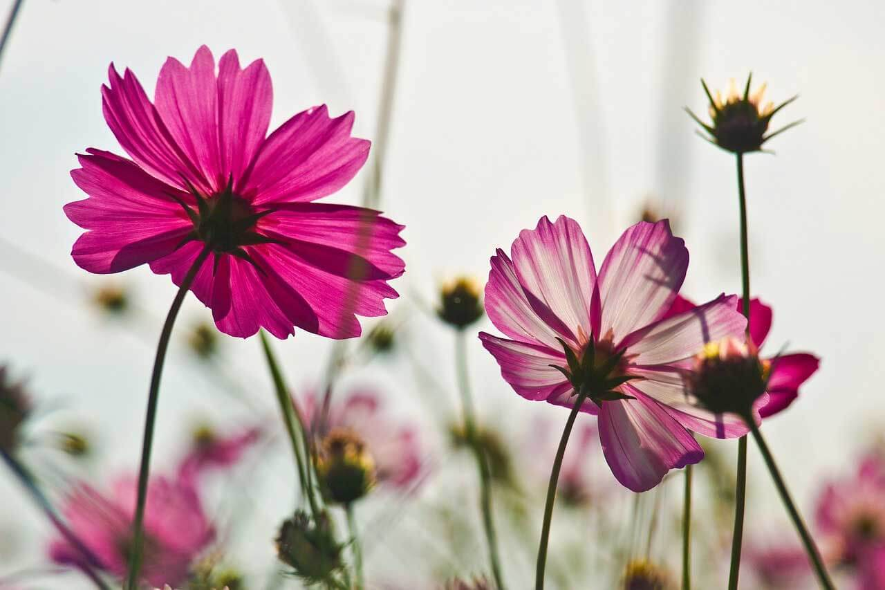 flowers cosmos 1280 - Home